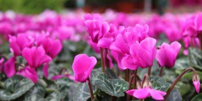 garden festival autunno ciclamini