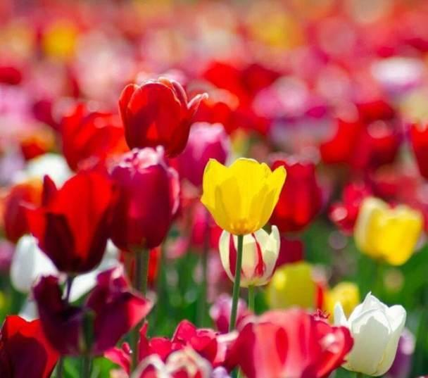 25 aprile, cosa fare a Milano ed eventi fuori porta: apertura di Tulipani Italiani